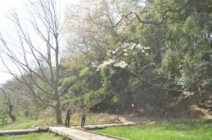 エドヒガンザクラ13