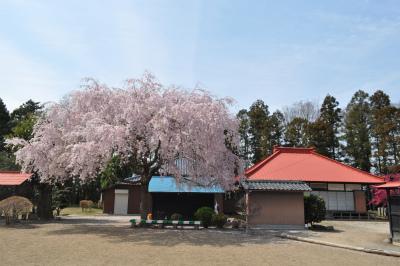 天神社のしだれ桜