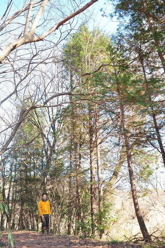 標柱10番のサワラ樹高約13m(身長180cm)