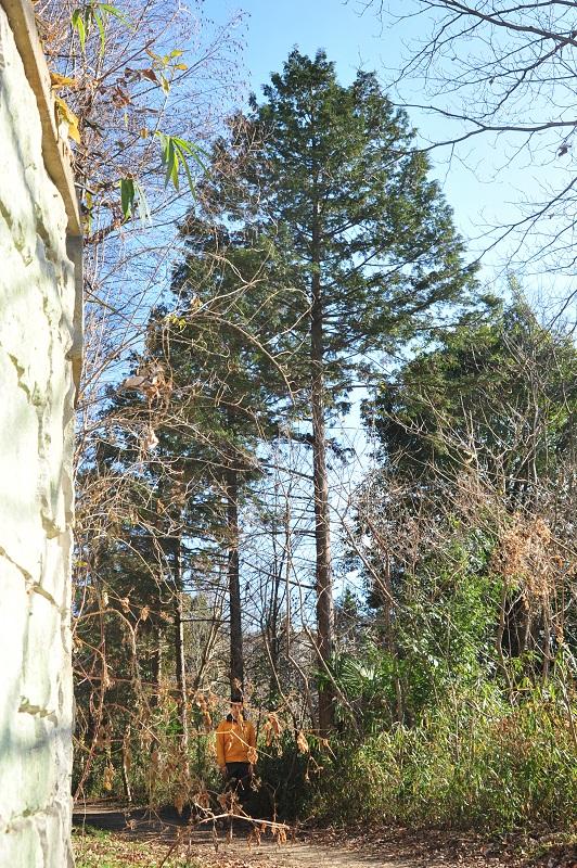 センター裏のヒノキ樹高約15m(身長180cm)