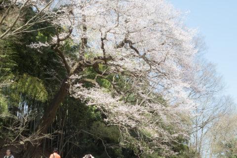「北本春の雑木林と桜めぐり」ツアー申込はこちらから!